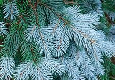 Free New Needles On Blue Spruce Branches Stock Photos - 16933123