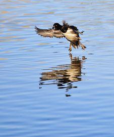 Free Landing Duck Royalty Free Stock Photos - 16933238