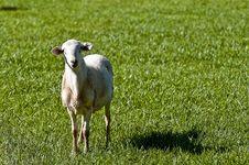 Free Lamb In Field Stock Photo - 16933250