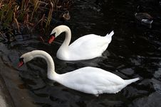 Free Swans Royalty Free Stock Photography - 16933737