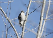 Free Downy Woodpecker Stock Photos - 16933803