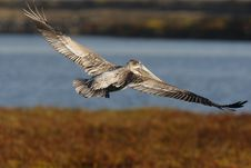 0692 Brown Pelican With Spread Wings Stock Images