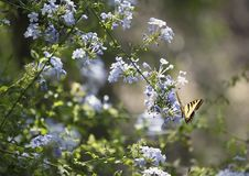 Free Swallowtail Butterfly & Phlox Flowers Royalty Free Stock Photo - 16933805