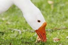 Free Snow Goose Closeup Royalty Free Stock Photo - 16933835