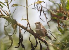 Free House Wren In Tree Stock Photos - 16933843