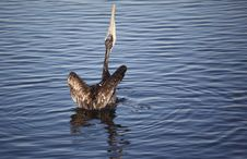 Free Brown Pelican, Rearview Stock Photo - 16933850