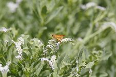 Free Fiery Skipper And White Wildflowers Stock Image - 16933861