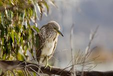 Free Black-Crowned Night Heron Royalty Free Stock Image - 16933876