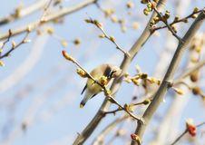 Free Cedar Waxwing In In Tree Stock Photos - 16933883