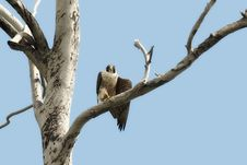 Free Peregrine Falcon In Tree Royalty Free Stock Image - 16933896