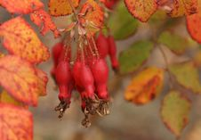 Free Fruits Of The Red Wild Rose Stock Photo - 16934570