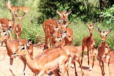 Free Impala Female S Stock Photos - 16935583