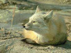 Free White Fox Stock Images - 16936664