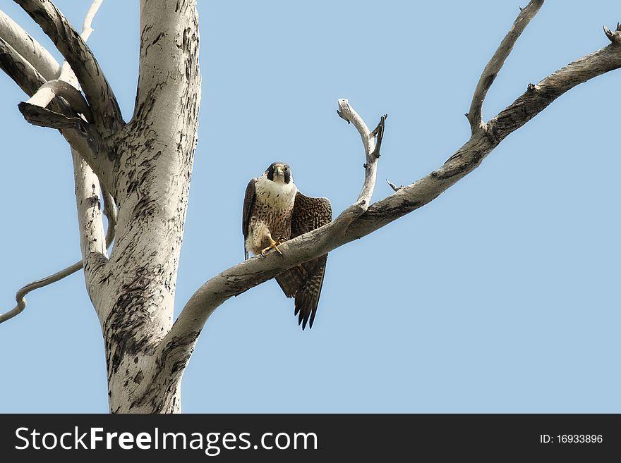 Peregrine Falcon in Tree