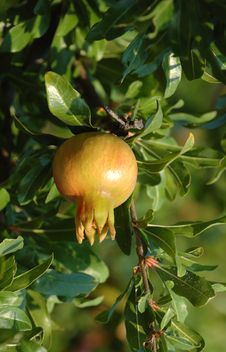 Free Mature Pomegranate Fruits Stock Photography - 16942442