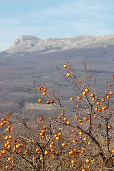 Free Oriental Persimmon Tree And Chatirdag Mountain Royalty Free Stock Image - 16942496