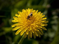 Free Bee Feeding On A Dandelion Royalty Free Stock Image - 16942736