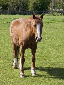 Free Chestnut Horse Stock Image - 16942881