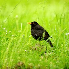 Free Black Bird In The Grass Stock Photo - 16943620