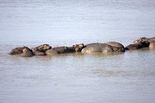 Free Hippos Stock Photo - 16943640