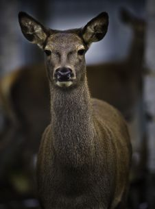 Free Roe Deer Royalty Free Stock Photography - 16943657