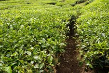Free Tea Plantation Stock Image - 16943681