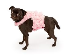 Free Black Pug Dog Wearing Pink Outfit Royalty Free Stock Image - 16943906