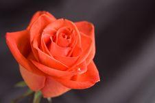 Free Red Rose, Close-up Stock Image - 16943931