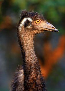 Yellow Eyed Emu Face Shot
