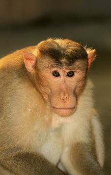 Free Monkey Face Royalty Free Stock Photography - 16944447