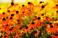 Free Black-eyed Susans Stock Photos - 16944803