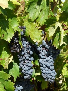 Free Red Grapevine Stock Photo - 16944870