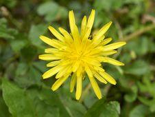 Free Wild Yellow Daisy Flower Closeup Stock Photography - 16946992