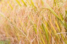 Free Mature Paddy In Paddyfield. Royalty Free Stock Photography - 16947897