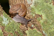 Free Garden Snail On A Tree Royalty Free Stock Photography - 16948497