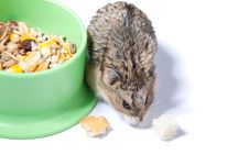 Free Hamster Stock Photography - 16949882
