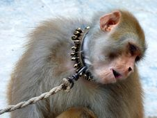 Free Monkey Shyness Royalty Free Stock Photo - 16949985