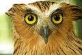 Free Owl Royalty Free Stock Photo - 16951135
