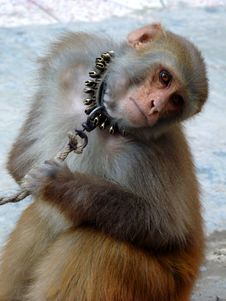 Free Staring Monkey Royalty Free Stock Photos - 16950048