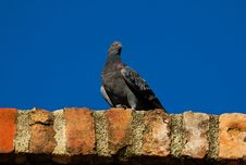 Free Pigeon On The Old Wall Royalty Free Stock Images - 16950069