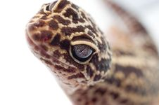 Free Gecko Looking Royalty Free Stock Photography - 16950947