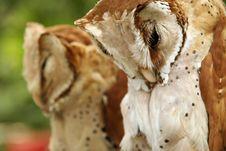 Free Owl, Brown Stock Photo - 16950970