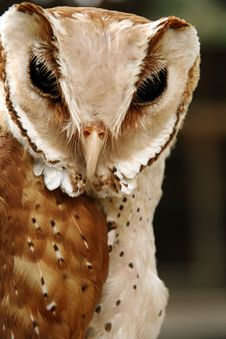 Free Owl, Brown Stock Images - 16950984