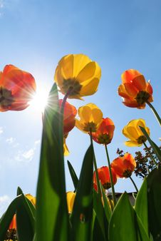 Tulips In Genoa Stock Photography