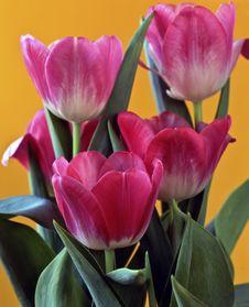 Free Pink Tulips Royalty Free Stock Photo - 16951815