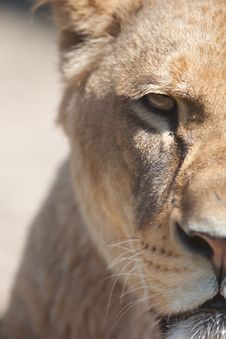 Free Close-up Portrait Of A Majestic Lioness Royalty Free Stock Image - 16952146