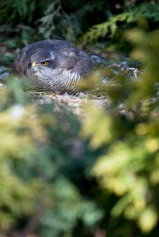 Free Hawk Sitting On Eggs Stock Photos - 16952373