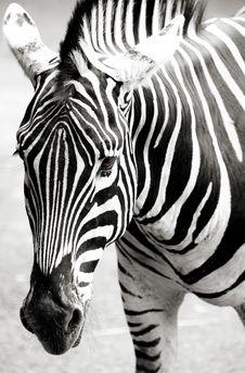 Free Zebra Royalty Free Stock Image - 16953196