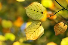 Free Autumn, Colorful Leaves Royalty Free Stock Photo - 16953225