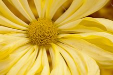 Free Chrysanthemum Stock Photography - 16954962